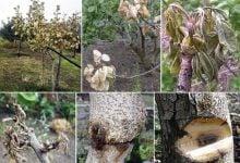 عامل بیماری درختان پسته Pistacia vera در سیسیل ایتالیا شناسایی شد.