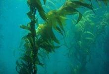 Photo of جلبکهای دریایی و گرم شدن زمین و افزایش غلظت دیاکسیدکربن