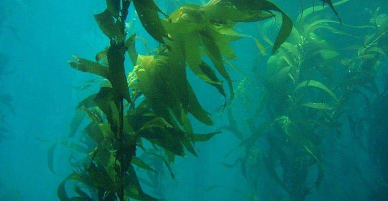 اثر جلبک های دریایی در گرمایش زمین