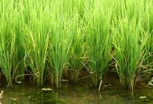 Photo of Rice Plants Developed to Neutralize HIV Transmission