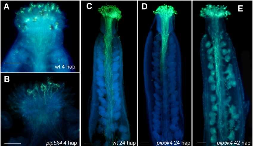 GENES FOR POLLEN TUBE GROWTH - اخبار زیست فن