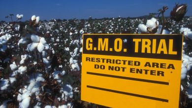 Photo of GMO cotton prompts dramatic drop in China's pesticide use