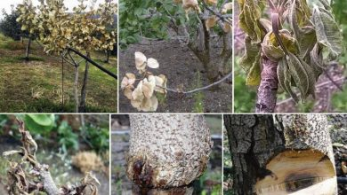 Photo of New fungus found to cause cankers and declines in pistachio trees in Sicily, Italy