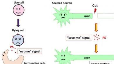 Photo of مشخص شدن مسیر سیگنالینگ ترمیم اعصاب