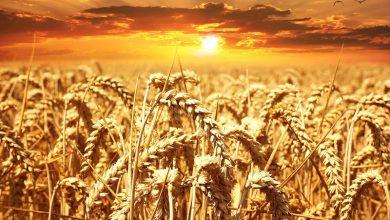 افزایش دما، میزان متابولیسم و جمعیت حشرات آفت را زیاد میکند.
