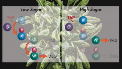 Photo of تولید روغن توسط سلولهای گیاهی با کمک یک سیگنال مولکولی