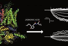 Photo of حفاظت گیاه در برابر پاتوژنهای باکتریایی توسط پروتئین Feronia