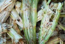 Photo of بهبود تولید اتانول و بیوگاز از باگاس نیشکر با استفاده از پیشتیمار قلیایی سدیم