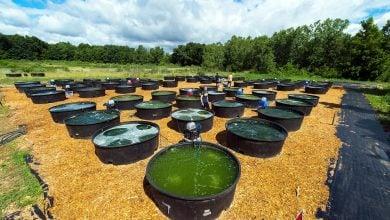 algae as diesel fuel