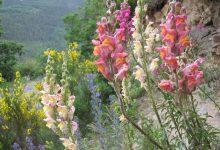 Photo of تنظیم رنگ گل میمون توسط جزایر ژنومی