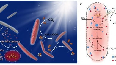 Photo of Gold Transforms Bacterium into Artificial Photosynthesis System
