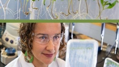 Photo of نقش شبکهای از ژنها در بهکارگیری نیتروژن توسط ریشه گیاه