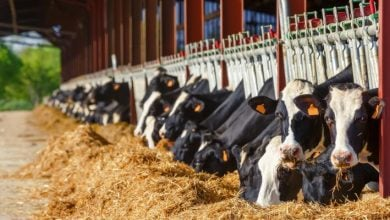Photo of Clay supplements in dairy cows improve immune response to aflatoxin challenge, study says
