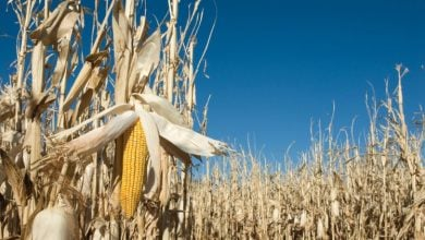 Photo of 'Turbocharging' photosynthesis in corn hikes yield