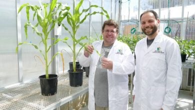 Photo of Designing a more productive corn able to cope with future climates