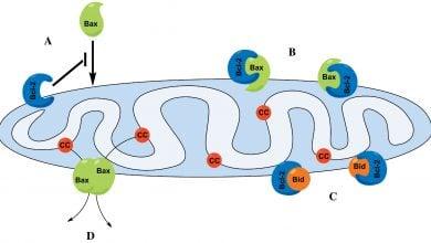 مدل پیشنهادی برای ساختار پروتئین Bax