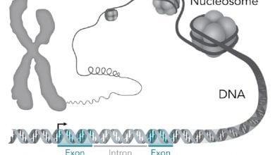 Photo of Researchers report proteins that escort a key enzyme to DNA for cell differentiation
