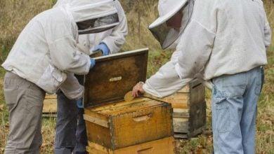 Photo of Fungus provides powerful medicine in fighting honey bee viruses
