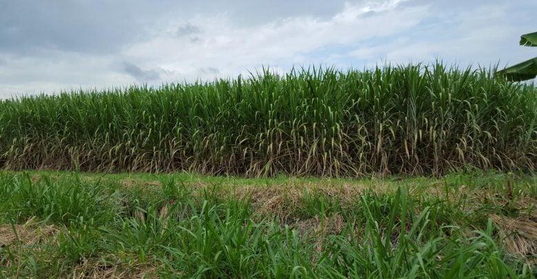 mysteries of the sugarcane genome - اخبار زیست فن