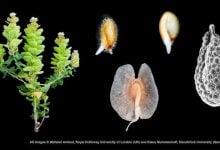 Photo of گیاهی با توانایی تولید دو نوع بذر متفاوت