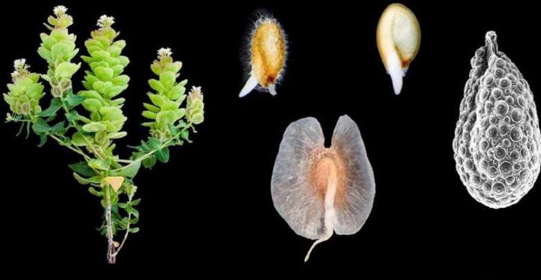 گیاه Aethionema arabicum توانایی تولید دو نوع بذر مختلف را داراست، که به موجب آن بذرهای این گیاه توانایی پراکنش در محیطهای مناسب را دارند.