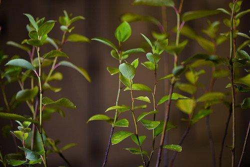 poplar biomass production - اخبار زیست فن