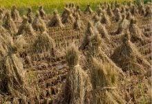 Photo of افزایش بازده تولید اتانول و متان از کاه برنج