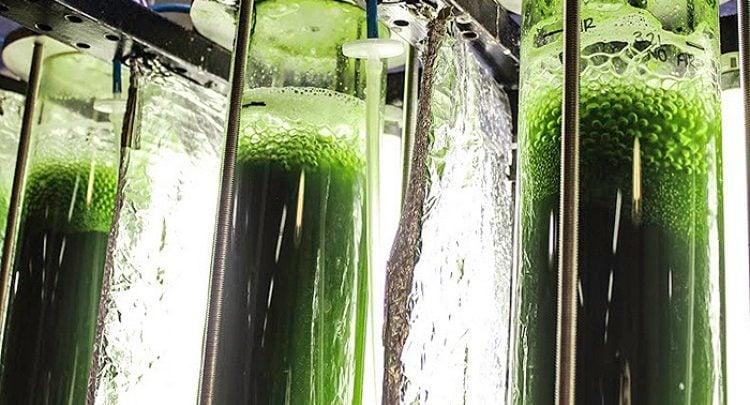 با توجه به تحقیقات انجام شده توسط شرکت فناوری توکیو و دانشگاه توکیو ژاپن، تولید نشاسته در مقیاس وسیع از جلبک امکانپذیر است. نشاسته ذخیره شده در میکروجلبکها، ماده اولیه فرایند تخمیر برای تولید سوختهای زیستی و سایر مواد بیولوژیکی است.