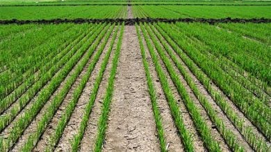 Photo of Recent Study Documents Damage To Rice Crops By Three Fall-Applied Residual Herbicides