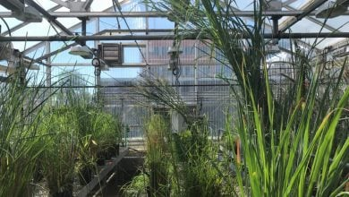 Photo of Grass genes tapped to breed better crops