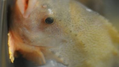 Photo of Lumpfish threatened by salmon sector