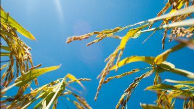 تغییر در تا خوردگی RNA، پاسخ دفاعی گیاهان در برابر تنش گرما