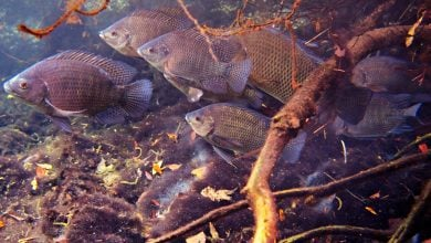 Photo of Tropical Fish Adapt To Cold Temperatures In Coordination With Their Microbiome