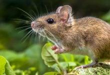 Photo of نقش وراثت در میکروبیوم موشها