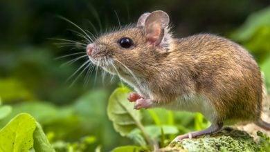 بررسی نقش وراثت در موشهای طبیعی نشان داد که ترکیبات میکروبیوم روده در موشها از یک نسل به نسل بعد تغییر بسیار کمی میکند.