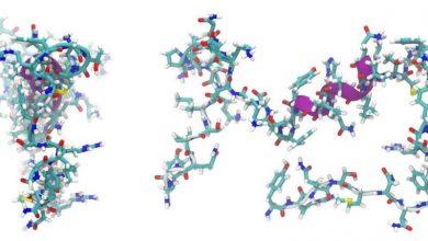 نقش سیگنال-پپتید در تبادل گلوتامات