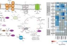 Photo of نقش متفاوت باکتری های میکروبیوم در فرآیندهای متابولیک