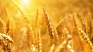 Photo of European wheat lacks climate resilience