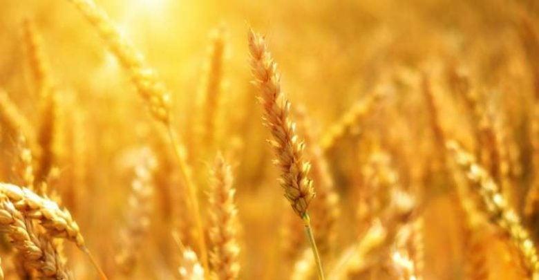 European wheat - اخبار زیست فن