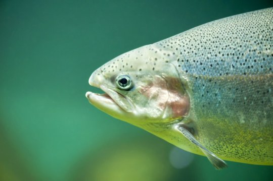 Trout thrive on single cell protein - اخبار زیست فن