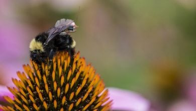Photo of Researchers create first sensor package that can ride aboard bees