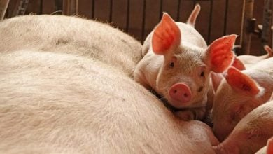 Photo of Veterinarians in best position to be 'ambassadors' for antimicrobials in pork production