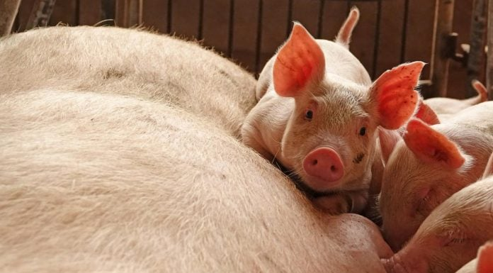 ambassadors for antimicrobials in pork production - اخبار زیست فن