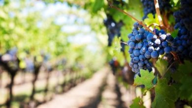 Photo of Wild yeasts may hold key to better wines from warmer climates