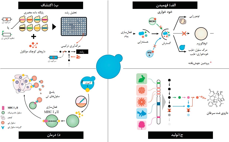 شکل 1- چهار محور اساسی برای مخمر در مبارزه با سرطان