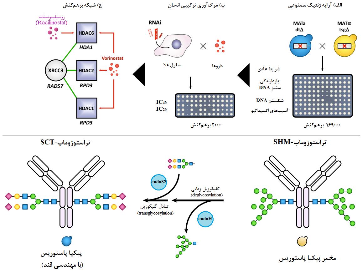شکل 2- مطالعات سرطان با مبنای مخمری برای شناسایی برهمکنشهای مرگآور ترکیبی (بالا) و تغییر دلخواه پادتنهای مونوکلونال در مخمر (پایین)
