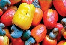 CNG from cashew apple - اخبار زیست فن
