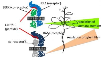 Photo of Dual Control: Plant Peptide Hormone Generates Distinct Cell Structures For Water Flow