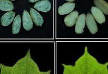 Manipulation of gossypol-containing glands - اخبار زیست فن