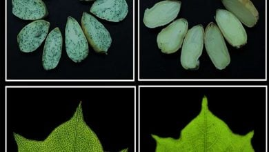 Photo of Manipulation of gossypol-containing glands in cotton can boost plant's natural defenses